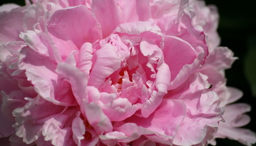 A pink peony not fully opened.