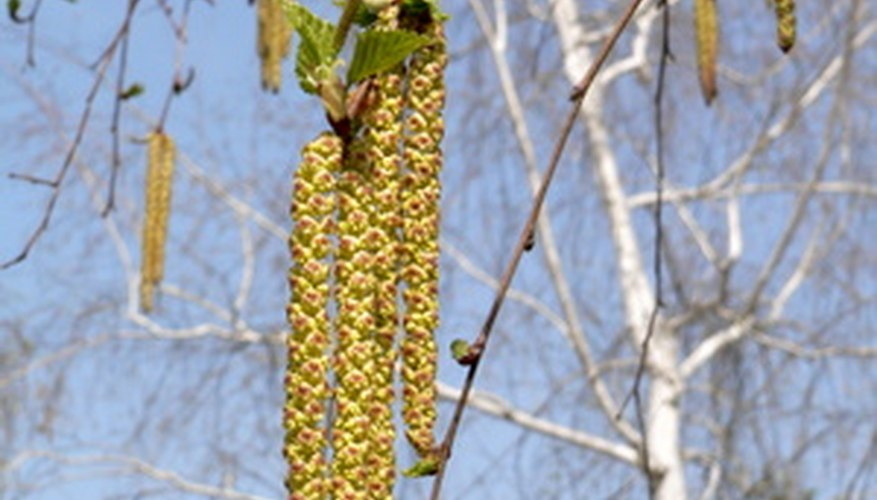 The catkins hang down from the branches.