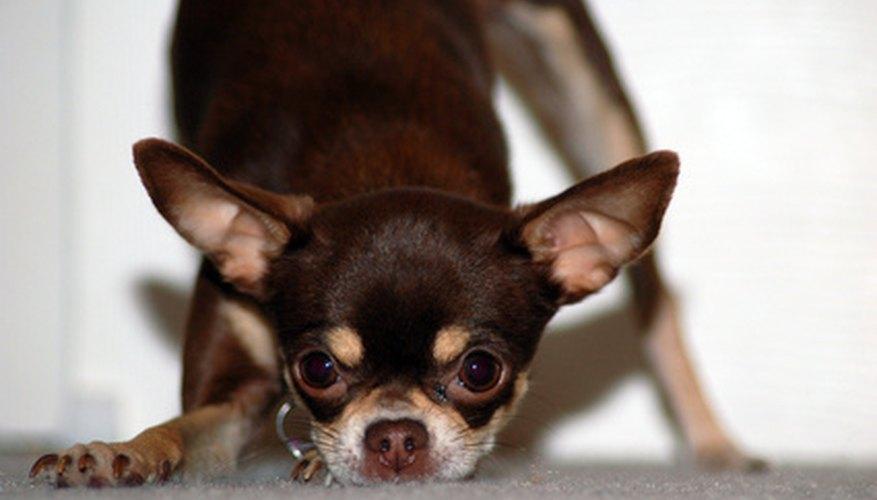 Puedes tejer un suéter calentito para tu Chihuahua.