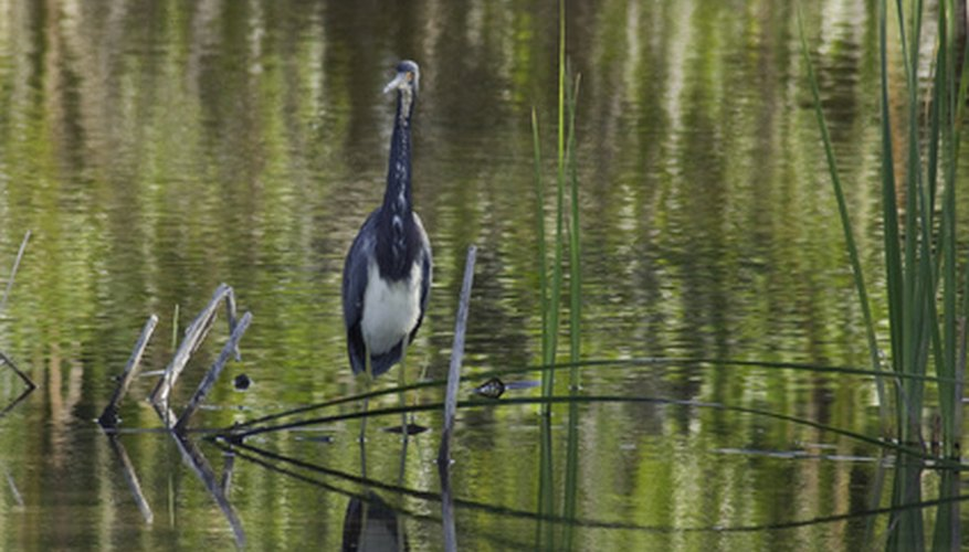 Great blue herons have complex courtship displays.