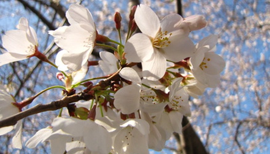 How to identify a white flowering tree garden guides dogwood tree flowers mightylinksfo