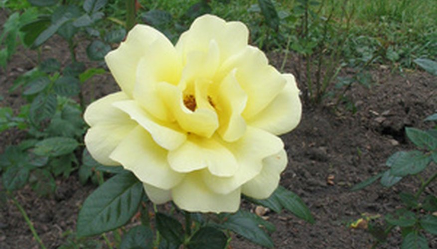 Test the soil drainage before you plant roses.