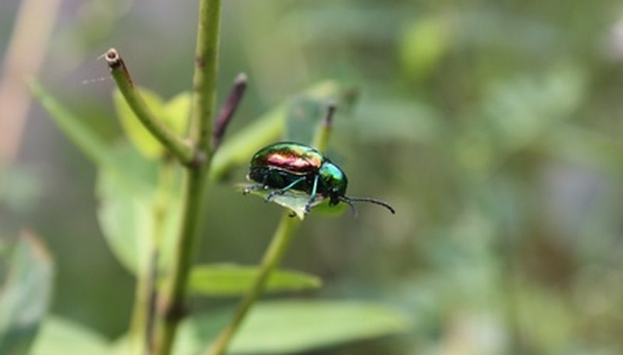 Japanese beetles will demolish flowering plants.