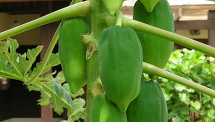Even a little frost can harm papaya plants.