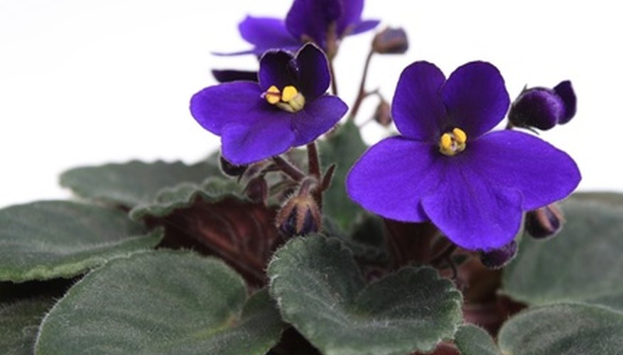The African violet is a house plant that blooms throughout the year.