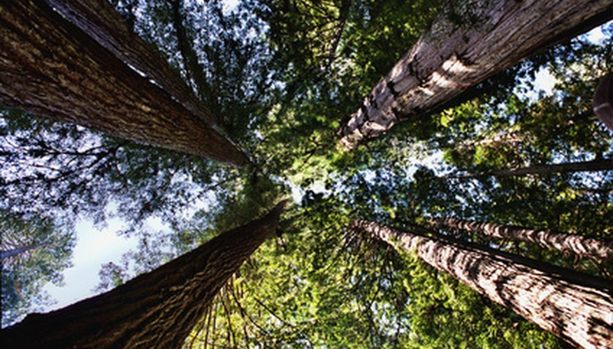 Sequoia trees are the tallest in the world.