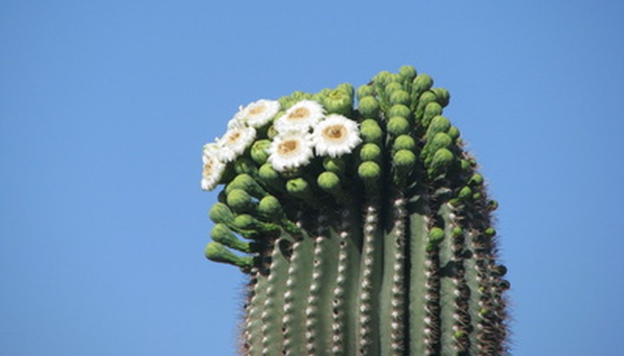 The saguaro is Arizona's state flower.