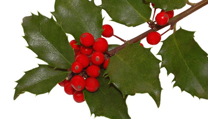 The holly bush is appreciated for its green foliage and red berries.