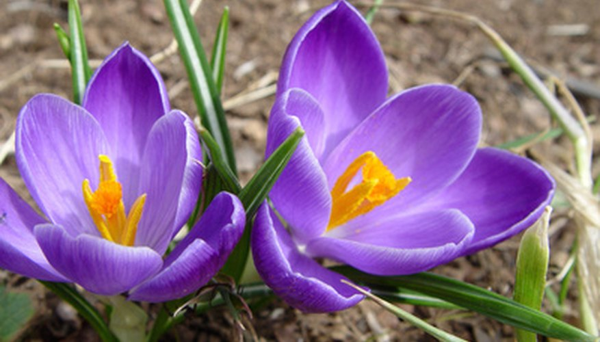 Purple crocus, native to Europe and Asia.