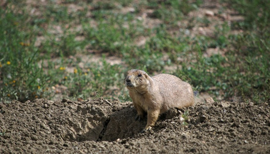 Prairie dogs are easy to identify.