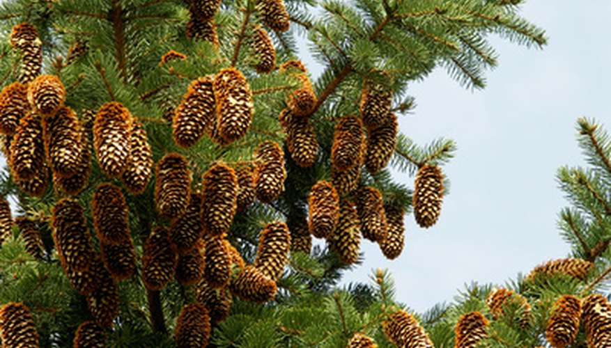 Spruces have rigid needles and suspended cones.