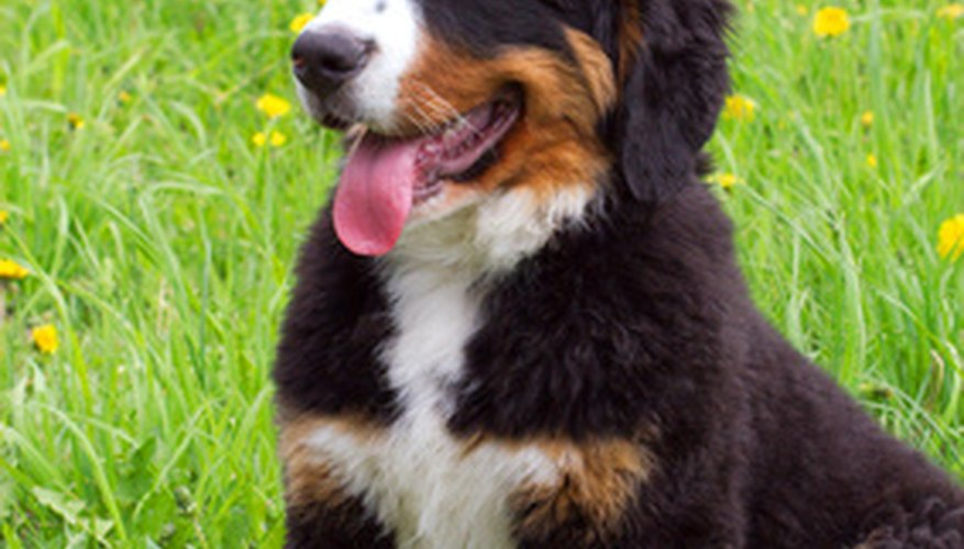 A Bernese Mountain Dog puppy is happy outdoors, where he can play, explore and run off energy.