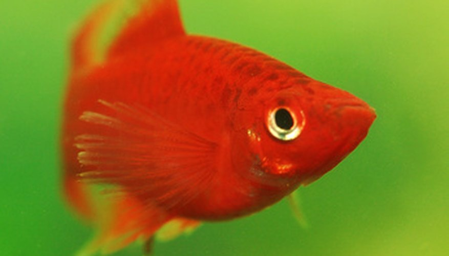 Goldfish are members of the minnow family.