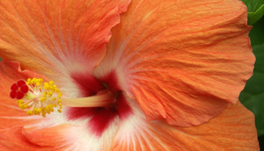 Hibiscus have large colorful blossoms.