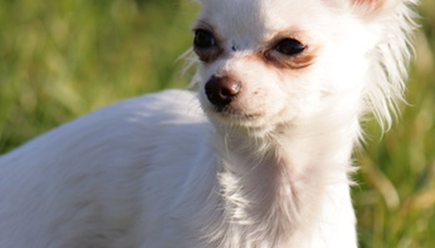 Fine-coated breeds, such as the Chihuahua, can be easy to brush.