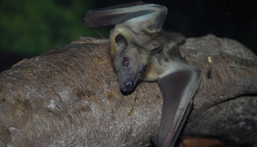 Some bats feed on nocturnal flower nectar.