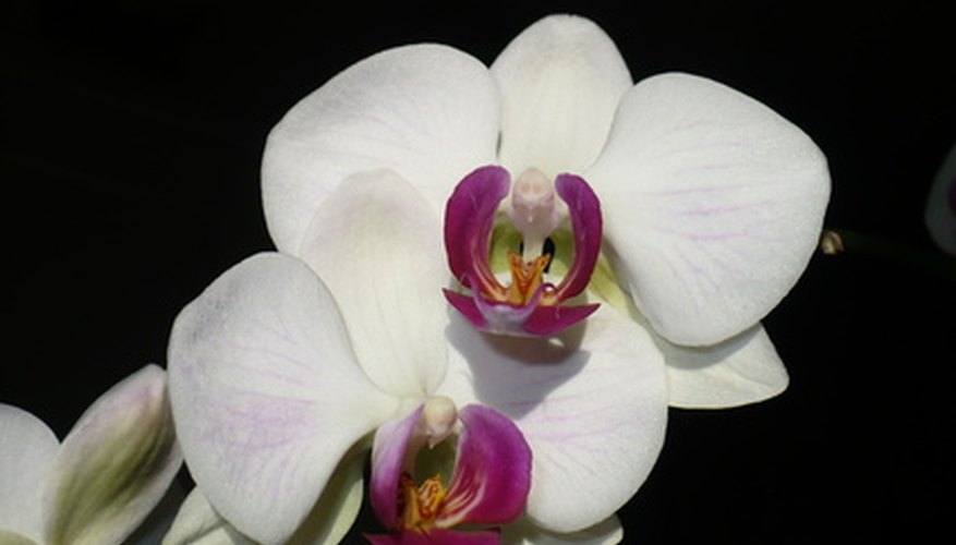 Orchids are flowers that originate in tropical forests.