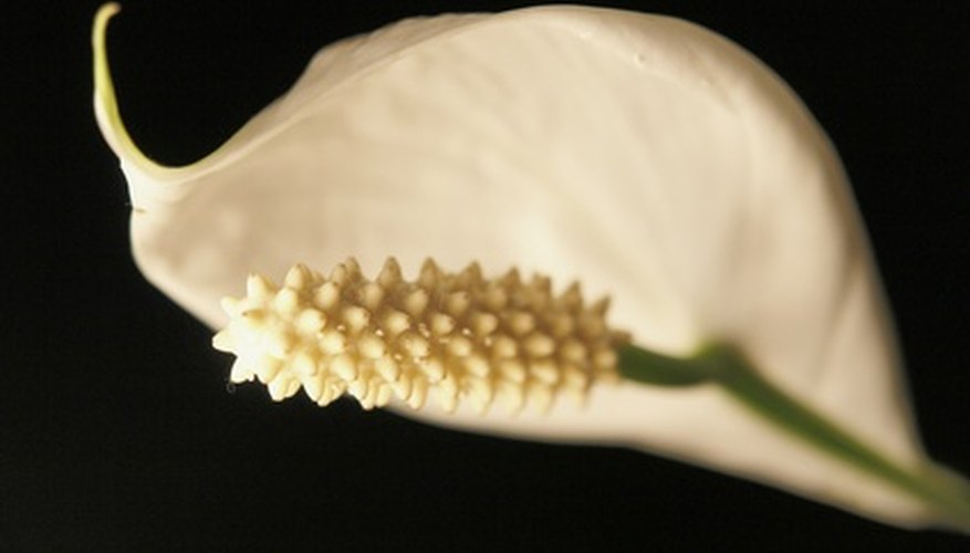 The white flowers of the peace lily are beautiful.