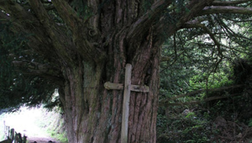 The long-lived, evergreen yew is often associated with cemeteries.