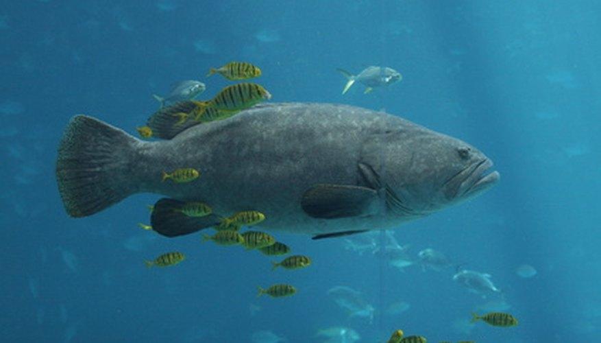 Algunas clases de mero están protegidas para impedir sobrepesca.