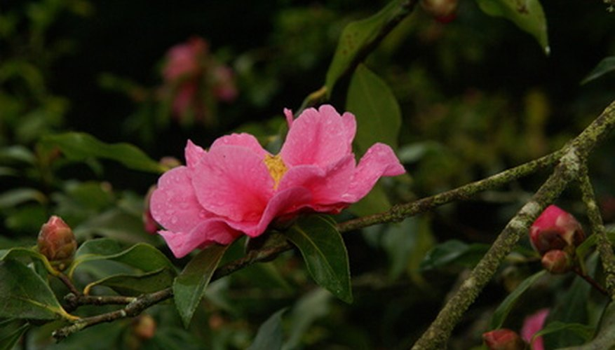 A pink Camellia flower