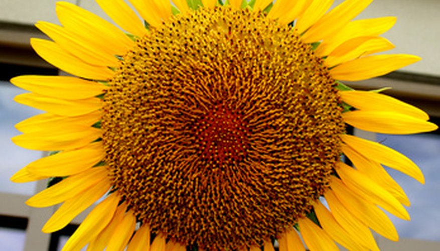 Sunflowers are large and can make quite a statement.