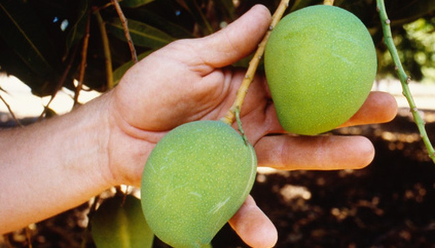 You can control the size of mango trees through yearly pruning.