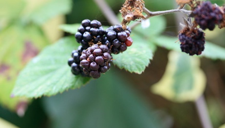 Enjoy blackberry fruit from your own backyard shrub.