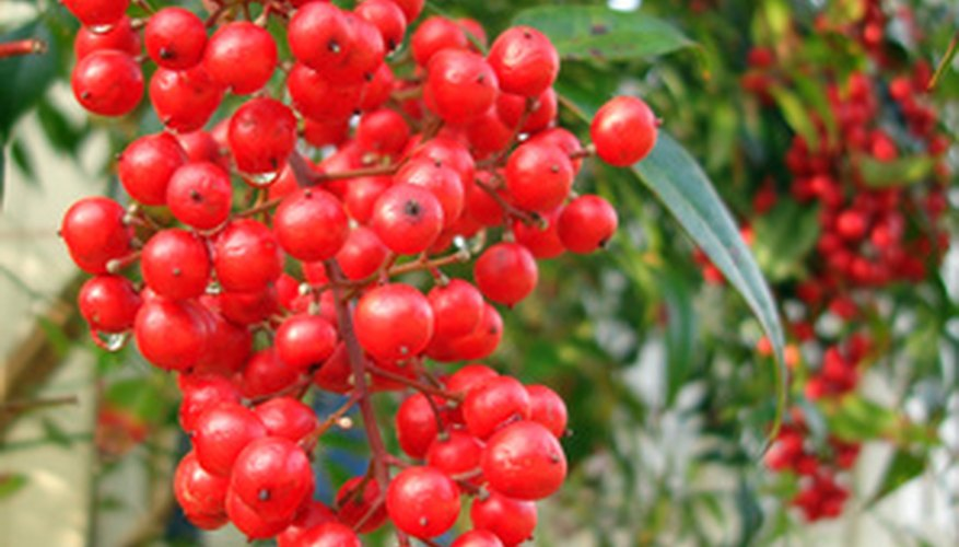 Nandina with mature berry cluster.