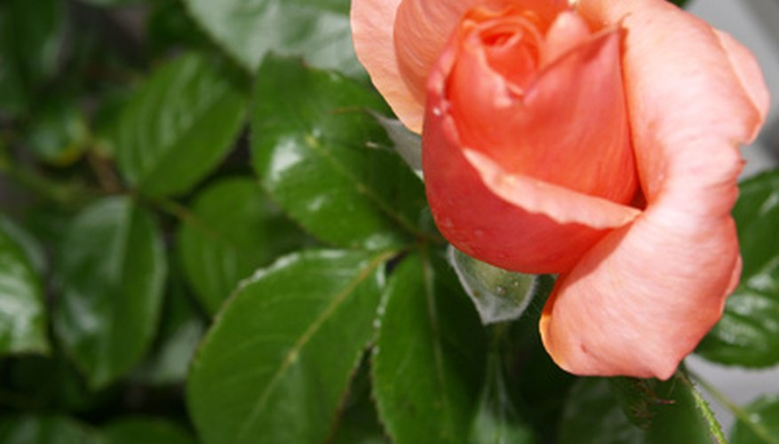 Get rid of beetles on rose bushes using home remedies
