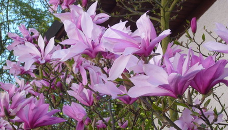 List of purple flowering trees garden guides purple flowering trees bring bold color to spring landscapes mightylinksfo
