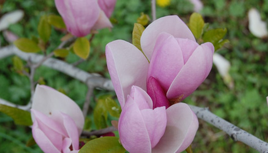 Magnolia's blooms may be white, cream, purple or pink.