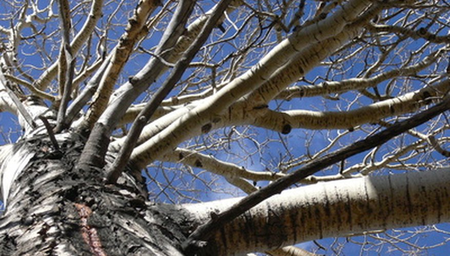 An aspen or aspen grove can provide good shade in Eastern Washington.