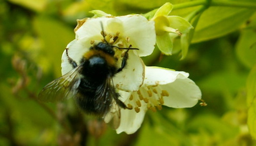 Bees are important to blueberry pollination.