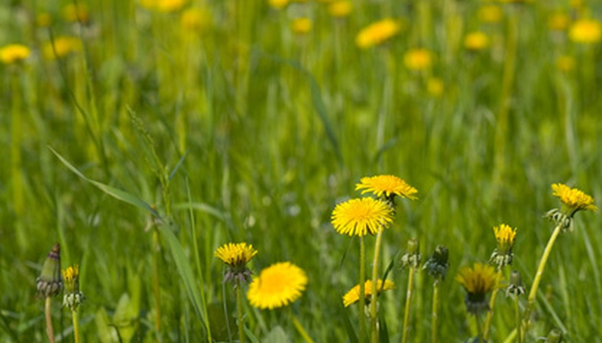 A field of the composite flower dandelion, each boasting many yellow ray flowers.