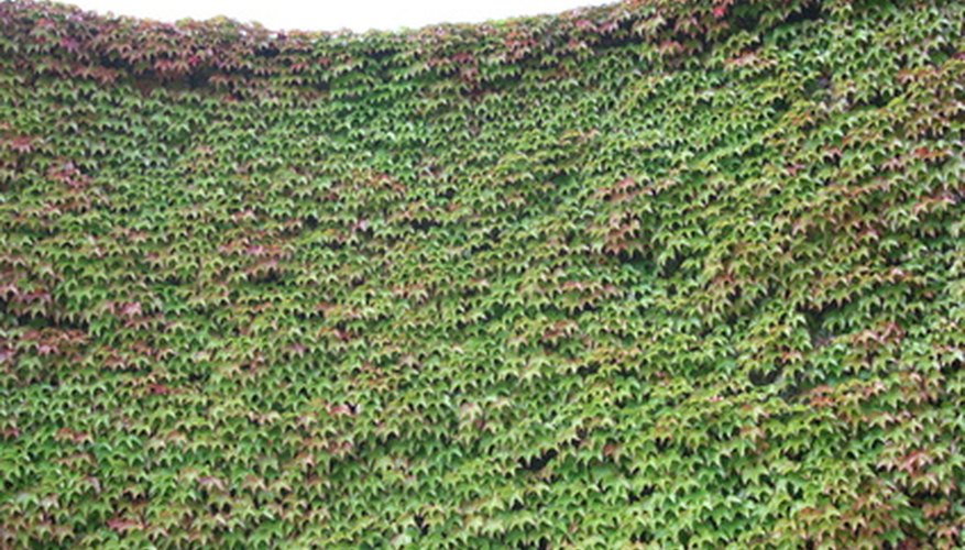 A wall covered in Virginia creeper, turning red in autumn.