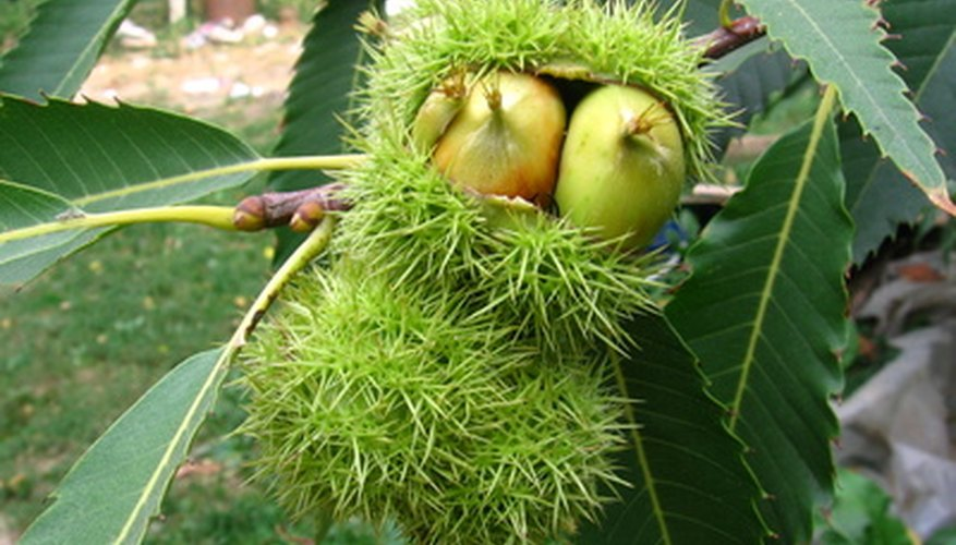 Chestnut trees form spiny burs that split open to reveal more than one nut.
