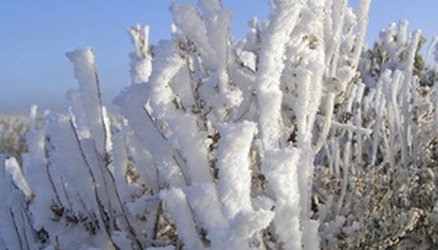 Sagebrush can tolerate snowy cold desert biome winters.