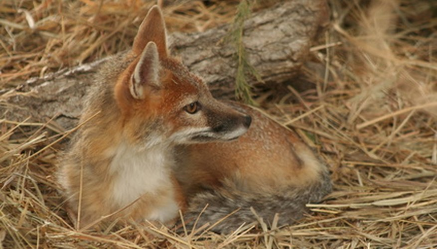 How to Taxidermy a Fox