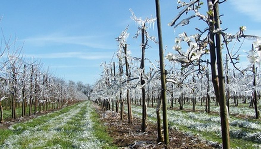There are ways to protect fruit trees from damage by freezing.
