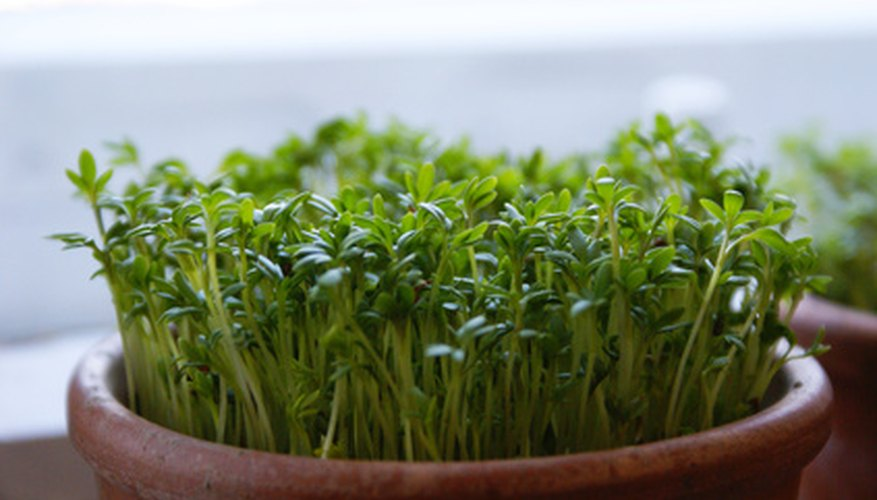 Harvest your micro herbs when the first adult leaves appear.