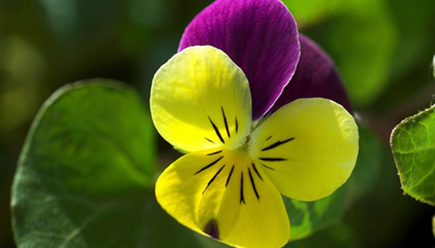 Violas bloom all season if protected from intense summer sun.