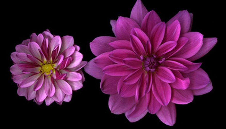Dahlias have long stems.