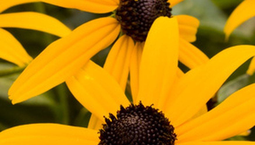 The sunny blooms of rudbeckia reminds one of the sun.