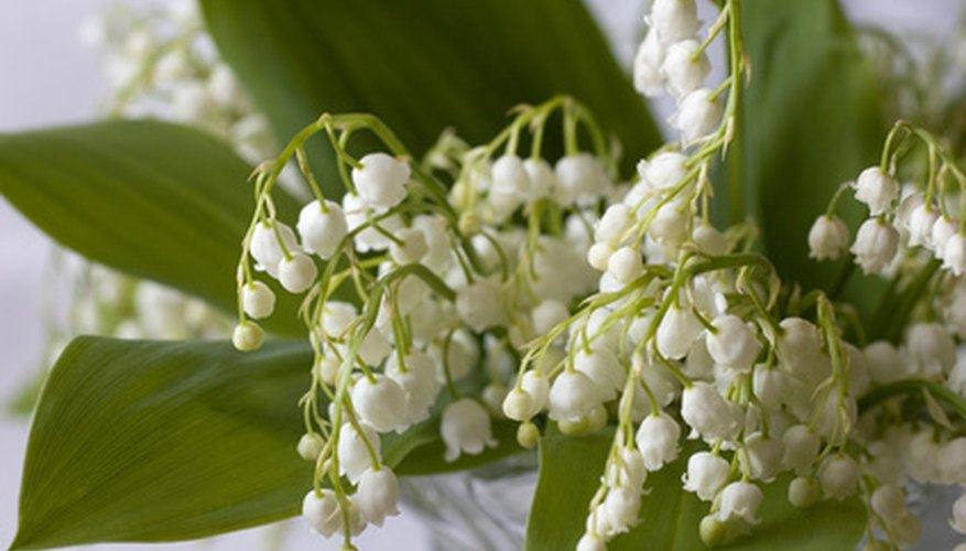 Lily of the valley's bell-shaped blooms.