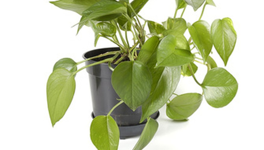Yellow leaves on house plants are a sign that the plant needs attention.