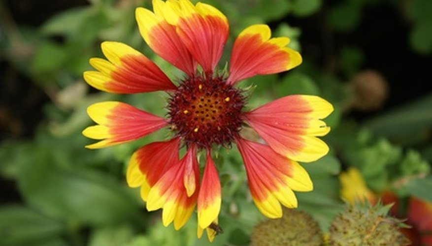 Blanket flower in bloom.