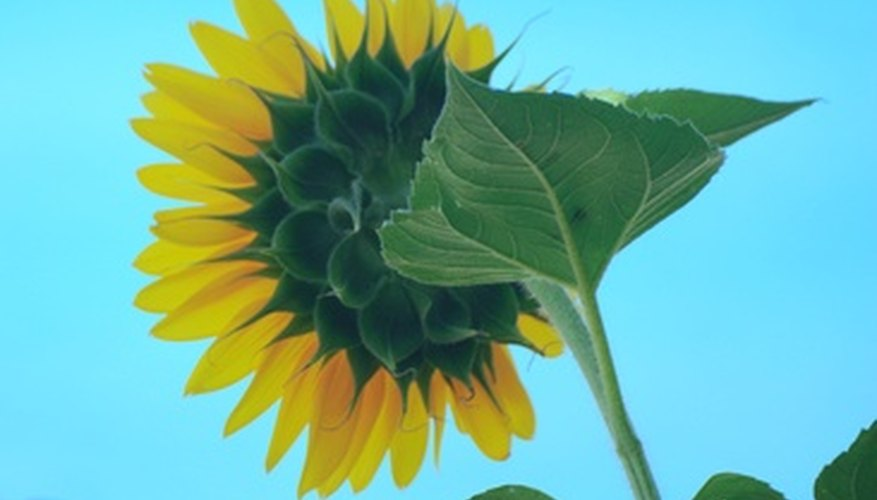 Once a sunflower bud has opened, the blossom always faces east.