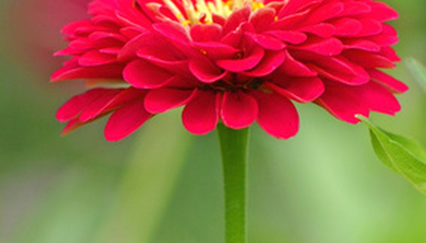 Red zinnia attracts hummingbirds