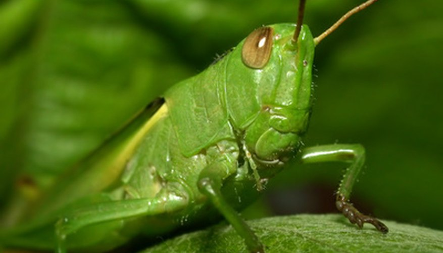Grasshoppers are members of the Orthoptera order.